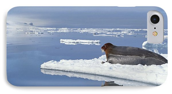 Bearded Seal Resting On Ice Floe Norway Phone Case by Flip Nicklin