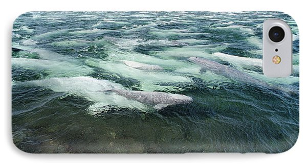 Belugas Swimming And Molting Phone Case by Flip Nicklin