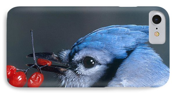 Blue Jay IPhone Case by Photo Researchers, Inc.