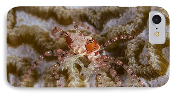 Boxing Crab In Raja Ampat, Indonesia Phone Case by Todd Winner