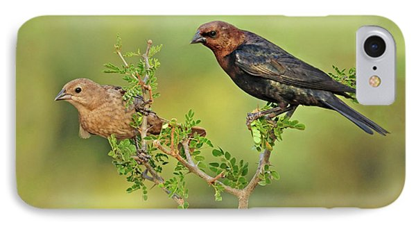 Brown Headed Cowbird Pair IPhone Case by Dave Mills