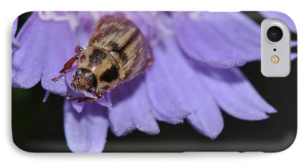 Carpet Beetle On Stokes Aster IPhone Case