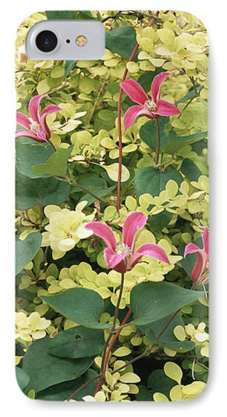 Clematis Texensis 'princess Diana' IPhone Case by Archie Young