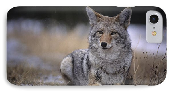 Coyote Resting In Winter Grass, Snowing Phone Case by Leanna Rathkelly