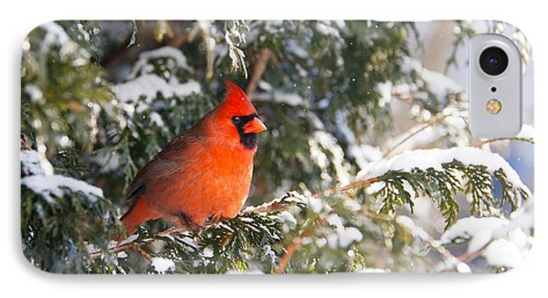Male Northern Cardinal. Phone Case by Kelly Nelson
