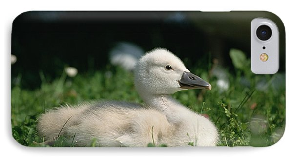Mute Swan Cygnus Olor Chick, Germany IPhone Case by Konrad Wothe
