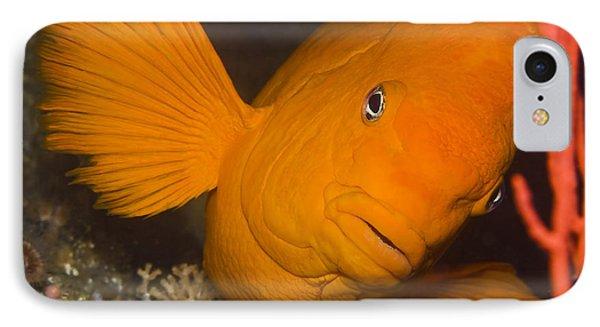 Orange Garibaldi Phone Case by Mike Raabe