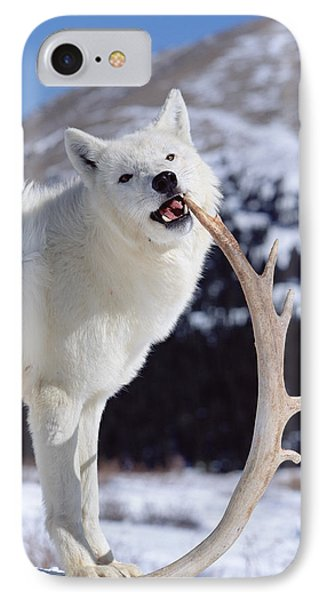 Timber Wolf Canis Lupus Chewing IPhone Case by Konrad Wothe