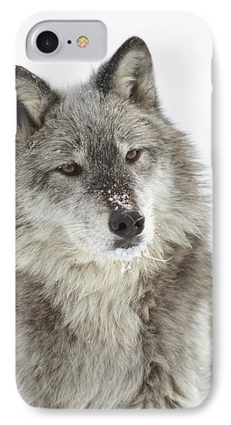 Timber Wolf Canis Lupus Portrait IPhone Case by Tim Fitzharris