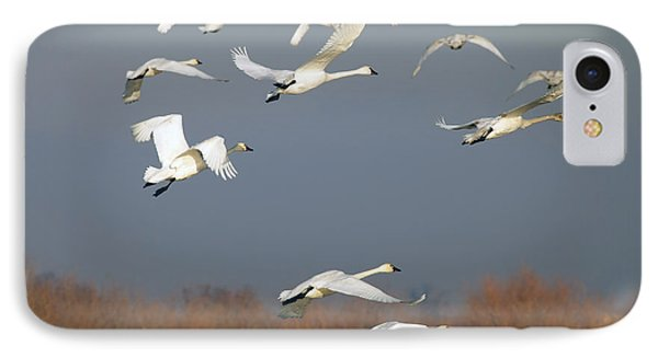 Tundra Swan Takeoff IPhone Case by Mike  Dawson