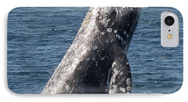 Breaching Gray Whale In Dana Point IPhone Case by Loriannah Hespe