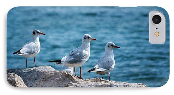 Black-headed Gulls, Chroicocephalus Ridibundus IPhone Case