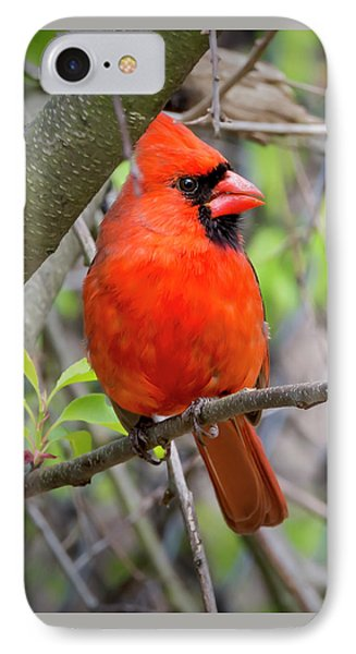 Cardinal Perched IPhone Case by Brian Wallace