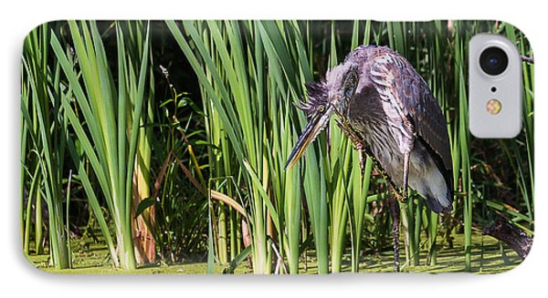 Great Blue Heron Itch IPhone Case by Edward Peterson