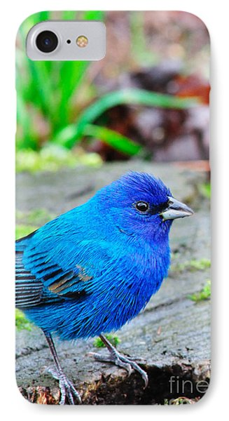 Indigo Bunting IPhone Case by Thomas R Fletcher