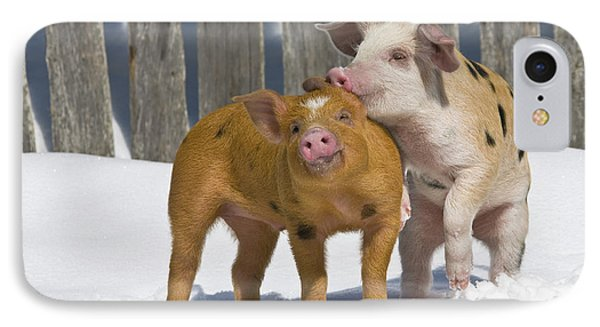 Piglets Playing In Snow IPhone Case by Jean-Louis Klein & Marie-Luce Hubert