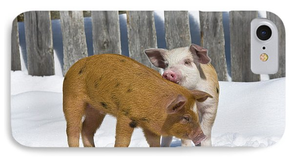 Two Piglets Playing IPhone Case by Jean-Louis Klein & Marie-Luce Hubert