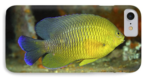 A Dusky Damselfish Offshore From Panama IPhone Case