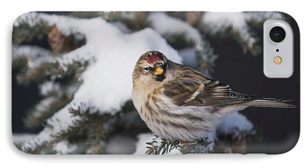 A Female Common Redpoll  Carduelis IPhone Case by Greg Martin
