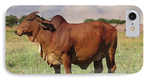American Brahman Cow IPhone Case by Ella Kaye Dickey