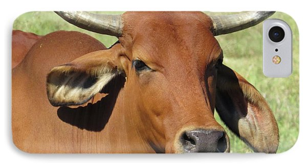 American Brahman Cow II IPhone Case by Ella Kaye Dickey