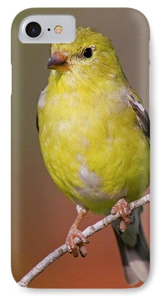 American Goldfinch  Female IPhone Case by Bob Decker