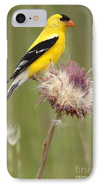 American Goldfinch On Summer Thistle IPhone Case by Max Allen