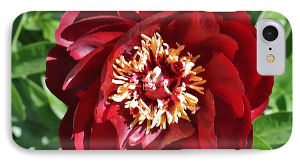 Beauty Peony Bloom IPhone Case by Marsha Heiken