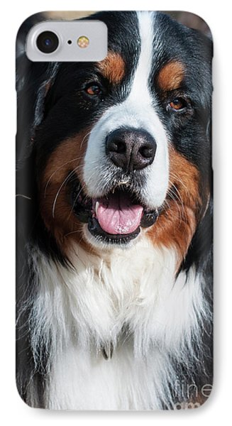 Bernese Mountain Dog Portrait  IPhone Case by Gary Whitton