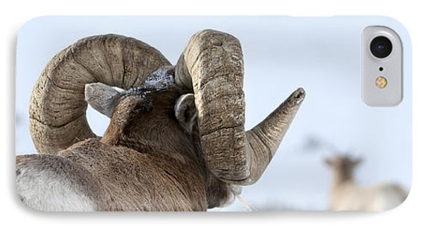 Big Horn Rams IPhone Case by Wildlife Fine Art