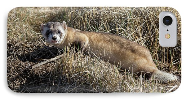 Black-footed Ferret On The Prowl IPhone Case