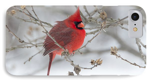 Bright Splash Of Red On A Snowy Day IPhone Case by Skip Tribby