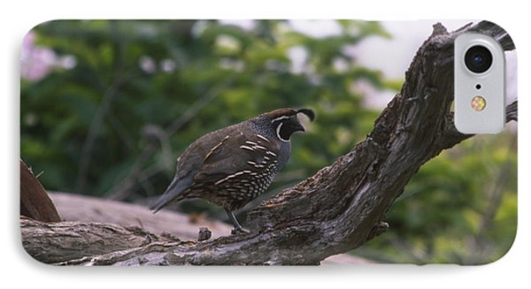 California Quail  IPhone Case by Soli Deo Gloria Wilderness And Wildlife Photography