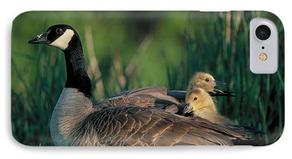 Canada Goose With Goslings Phone Case by Alan and Sandy Carey and Photo Researchers
