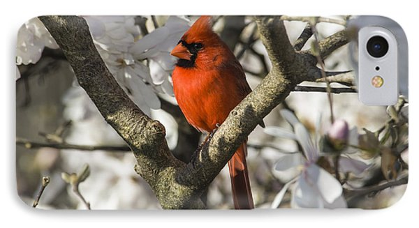 Northern Cardinal And Magnolia 1 - D009892 IPhone Case by Daniel Dempster