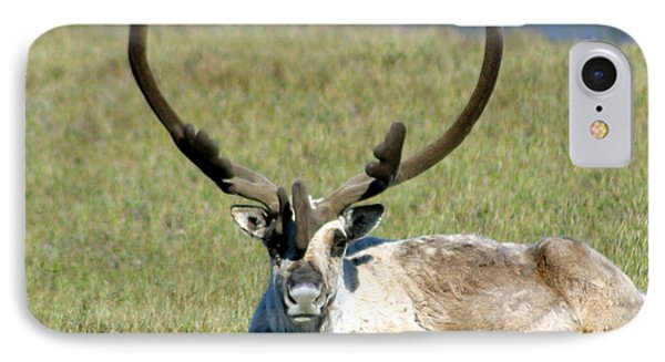 Caribou Resting In Tundra Grass Phone Case by Anthony Jones