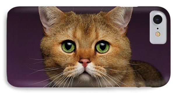 Closeup Golden British Cat With  Green Eyes On Purple  IPhone 7 Case by Sergey Taran