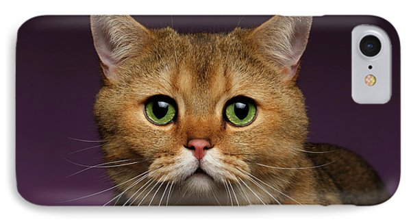 Closeup Golden British Cat With  Green Eyes On Purple  IPhone Case by Sergey Taran
