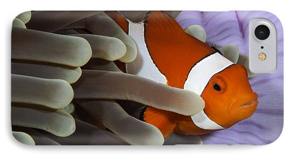 Clown Anemonefish, Indonesia Phone Case by Todd Winner