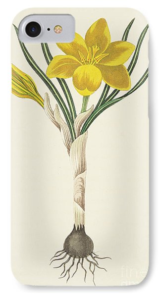 Common Yellow Crocus IPhone Case by Margaret Roscoe