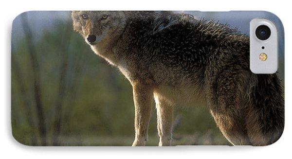 Coyote In Ocotillo Trees Phone Case by Sandra Bronstein