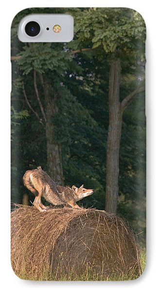 IPhone Case featuring the photograph Coyote Stretching On Hay Bale by Michael Dougherty