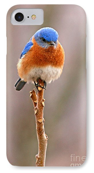 Eastern Bluebird Treetop Perch IPhone Case by Max Allen
