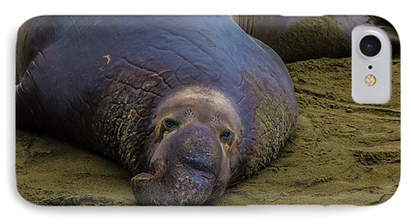 Elephant Seal Portrait IPhone Case