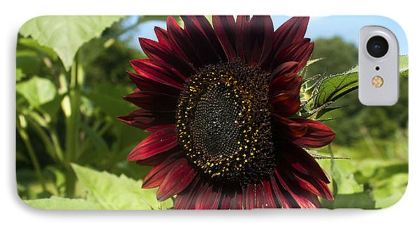 IPhone Case featuring the photograph Evening Sun Sunflower #1 by Jeff Severson