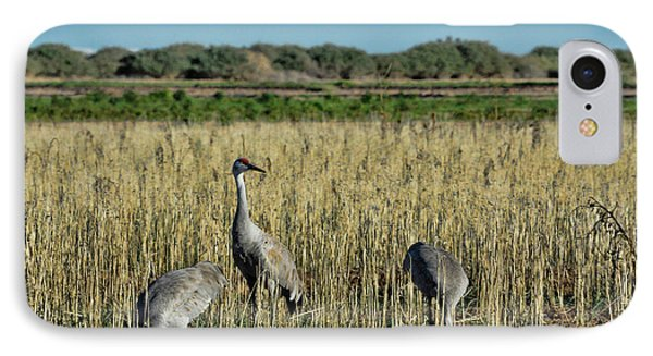 Feeding Greater Sandhill Cranes IPhone Case by Daniel Hebard