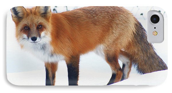 Fox On The Prowl IPhone Case by Stanza Widen