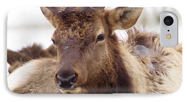 IPhone Case featuring the photograph Gaze From A Bull Elk by Jeff Swan