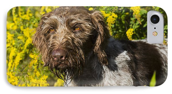 German Wirehaired Pointer In Autumn IPhone Case by Lynn Stone