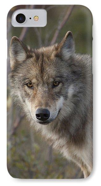 Gray Wolf Canis Lupus Portrait, Alaska IPhone Case by Michael Quinton